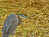 Great Blue Heron, San Joaquin Wildlife Sanctuary, Irvine CA