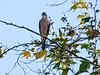 coopers Hawk, San Joaquin Wildlife Sanctuary, Irvine CA
