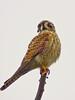 American Kestrel, San Joaquin Wildlife Sanctuary, Irvine CA