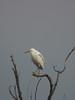 Snowy Egret, San Joaquin Wildlife Sanctuary, Irvine CA