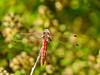 Variegated Meadowhawk, San Joaquin Wildlife Sanctuary, Irvine CA
