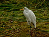 Great Egret, San Joaquin Wildlife Sanctuary, Irvine CA