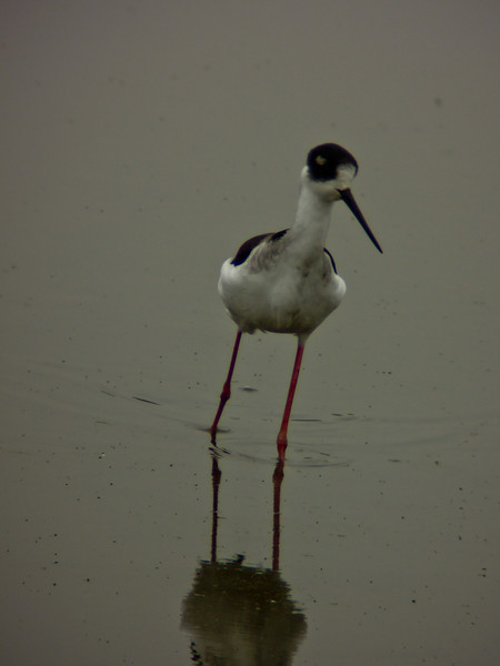 Black-necked Stilt, San Joaquin Wildlife Sanctuary, Irvine CA