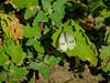Cabbage White, William Mason Regional Park, Irvine CA