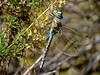 Paddle-tailed Darner, San Joaquin Wildlife Sanctuary, Irvine CA