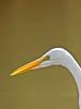 Great Egret, San Joaquin Wildlife Sanctuary, Irvine CA