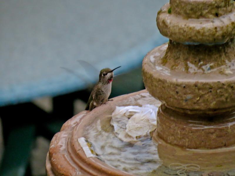 Anna's Hummingbird, Comfort Inn, Santa Ana, CA