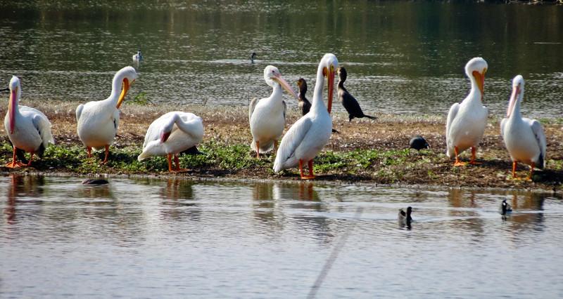 White Pelican, San Joaquin Wildlife Sanctuary, Irvine CA