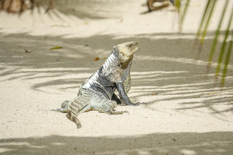 Spinny-tailed Iguana, Cayo Cochino, Honduras