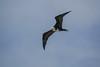 Magnificent Frigatebird, Cayo Chachahuate 2,, Honduras