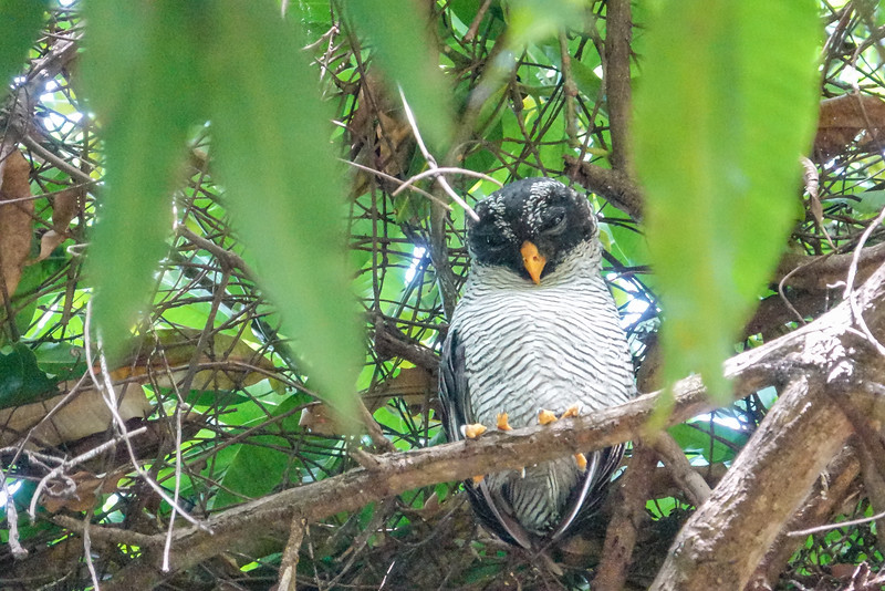 Black and White Owl, La Ceiba Honduras