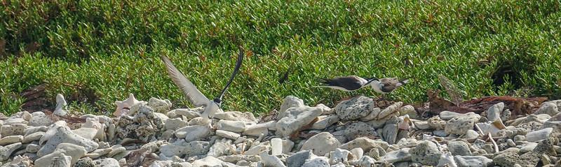 Bridled Terns, Cayo Cochino, Honduras