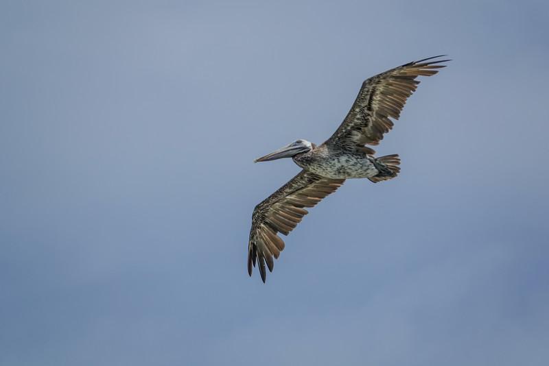 Brown Pelican, Cayo Chachahuate 2,, Honduras