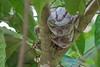 Hog-nosed Island Boa (Rosy or Pink), Cayo Cochino, Honduras