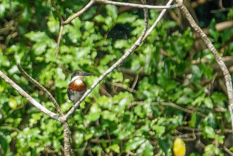 Green Kingfisher, Cuero y Salada WR