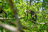 White-faced Capuchin, Cuero y Salada WR