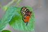 Disturbed Tiger-wing Heliconian Butterfly, Cuero y Salada WR
