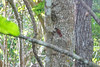 Cinnamon Tree-creeper, Cuero y Salada WR