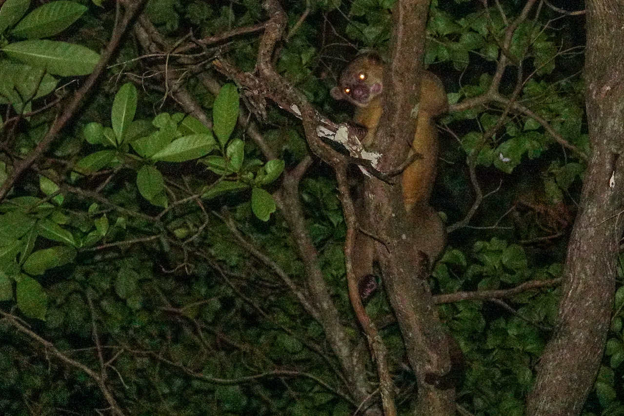 Kinkajou, The Lodge at Pico Bonito