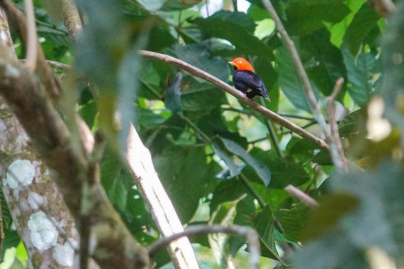 Red-capped Manakin, The Lodge at Pico Bonito, Honduras