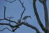 Wood Stork, Cuero y Salada WR