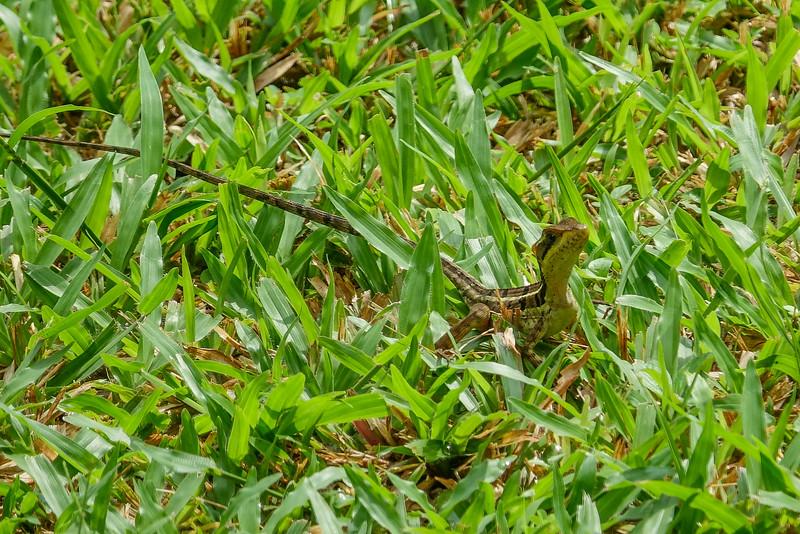 Green Basilisk, The Lodge at Pico Bonito, Honduras