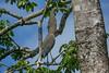 Bare-throated Tiger-Heron, Cuero y Salada WR