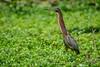 Green Heron, Cuero y Salada WR