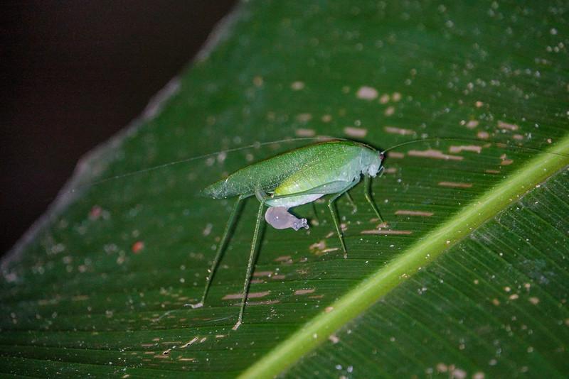 Cicada, The Lodge at Pico Bonito