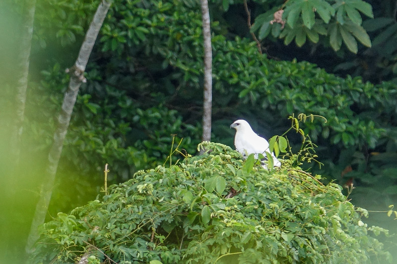 White Hawk, The Lodge at Pico Bonito