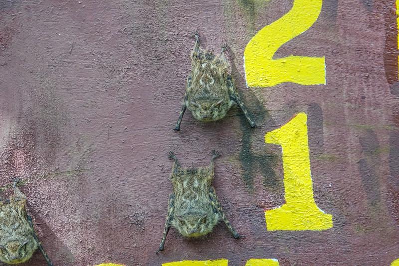 Long-nose Bats, Cuero y Salada WR