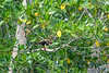 Black-bellied Whistling Ducks, Cuero y Salada WR