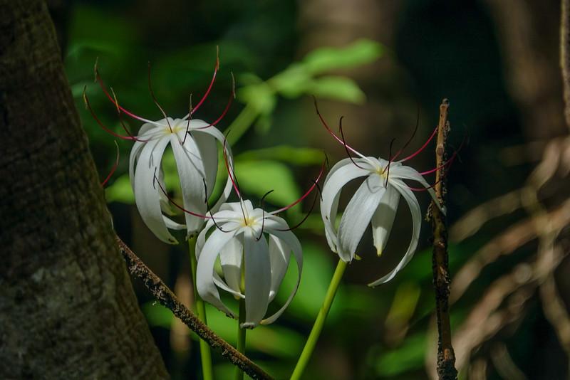 Spider Lily, Cuero y Salada WR