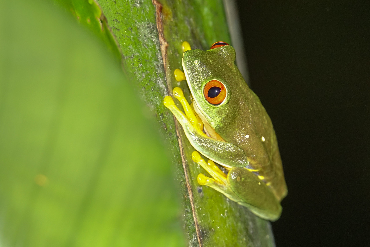 Red-eyed Tree Frog, The Lodge at Pico Bonito