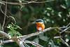 American Pygmy Kingfisher, Cuero y Salada WR