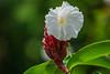 flower, Lancetilla Botanical Gardens, Tela Honduras