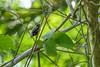 Thick-billed Seed-Finch, Lancetilla Botanical Gardens, Tela Honduras