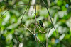 Green-breasted Mango, Lancetilla Botanical Gardens, Tela Honduras