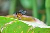 dragonfly, Lancetilla Botanical Gardens, Tela Honduras