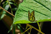 Green Malacite Butterfly, Lancetilla Botanical Gardens, Tela Honduras