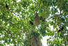 Montazuma Oropendola, Lancetilla Botanical Gardens, Tela Honduras