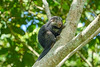 Prehensile-tailed Porcupine, Lancetilla Botanical Gardens, Tela Honduras