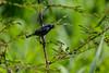 Blue-black Grassquit, Lancetilla Botanical Gardens, Tela Honduras