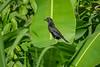 Grove-billed Ani, Lancetilla Botanical Gardens, Tela Honduras