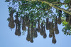 Mantazuma Oropendola nests, Lancetilla Botanical Gardens, Tela Honduras