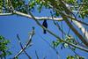 Passerini's Tanager, Lancetilla Botanical Gardens, Tela Honduras