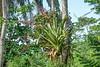 Bromeliad, Rio Santiago Honduras
