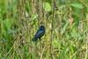 Blue-black Grassquit, Rio Santiago Honduras