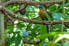 Blue-crowned Motmot, The Lodge at Pico Bonito, Honduras