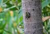 Black-cheeked Woodpecker, the Lodge at Pico Bonito, Honduras
